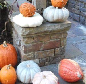 Gathering of pumpkins