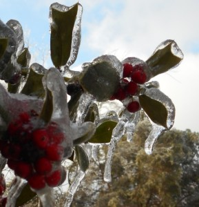 Ice on holly leaves and berries